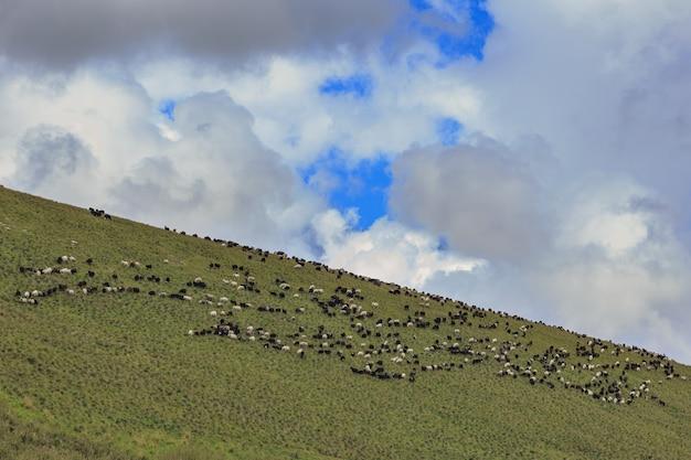 Alpejskie pastwisko w lesie dla owiec i baranów.