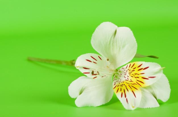 Alstroemeria biały kwiat na łodydze