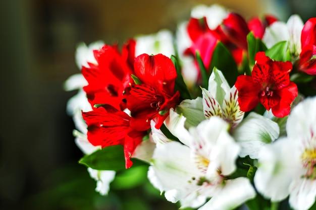 Alstroemeria kwiaty czerwony i biały bukiet kolorów na ciemnym tle. ścieśniać. selektywne nieostrość. mała głębia ostrości. miejsce na tekst.