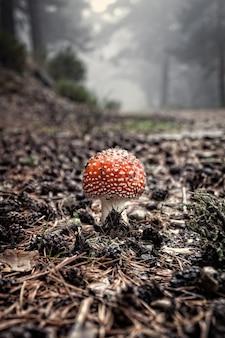 Amanita muscaria w sosnowym lesie otoczonym paprociami