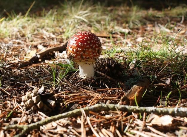 Amanita muscaria w sosnowym lesie