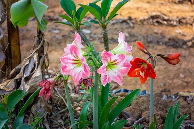 Amaryllis z czerwonymi płatkami i różowymi mieszanymi białymi płatkami.