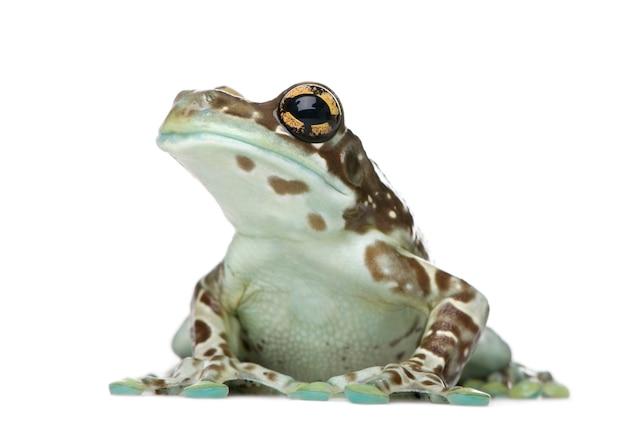 Amazon milk frog, trachycephalus resinifictrix, na białym tle odizolowane