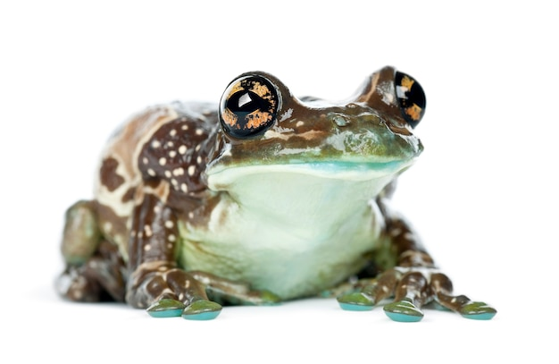 Amazon milk frog, trachycephalus resinifictrix, portret na tle białej przestrzeni