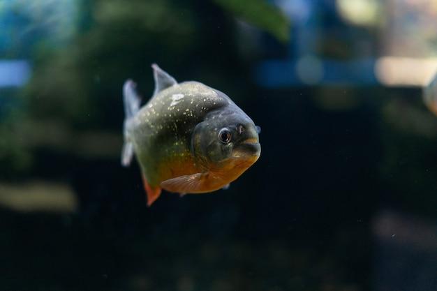 Amazonka to drapieżna ryba pirania wśród alg, w której pływa stado wściekłych, głodnych ryb