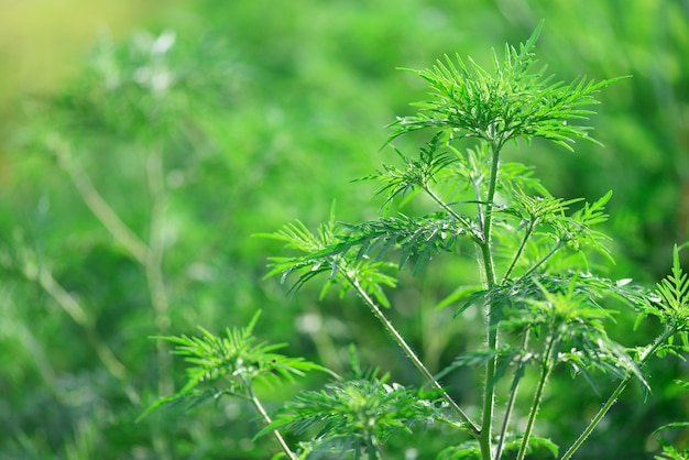 Ambrozja artemisiifolia roślina