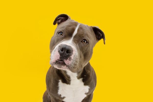 American bully dog odchylany do boku głowy. na białym tle na żółtej powierzchni.