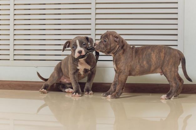 American bully puppy gry