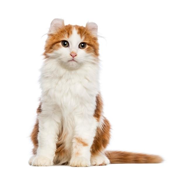 American curl kotek (3 miesiące) siedzi i patrzy