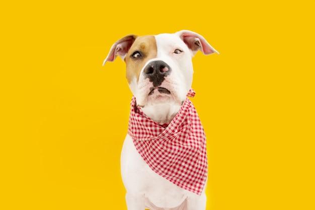American staffordshire pies gotowy do spożycia w serwetce w kratkę, izolowany na żółtej powierzchni