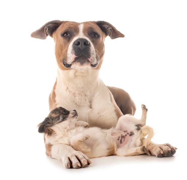 American staffordshire terrier i chihuahua na białym tle