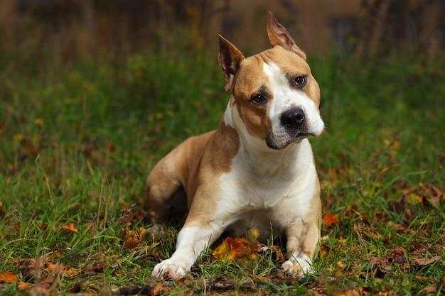 American staffordshire terrier leży na trawie w parku. zdjęcie wysokiej jakości