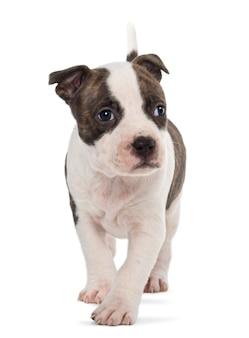 American staffordshire terrier puppy walking
