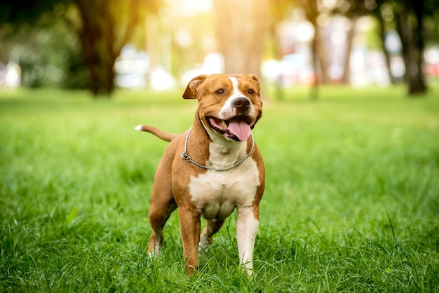 American staffordshire terrier w parku
