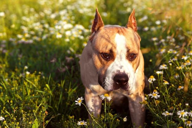 American staffordshire terrier w przyrodzie latem. zdjęcie wysokiej jakości