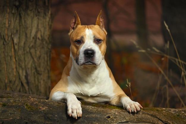 American staffordshire terrier w przyrodzie. zdjęcie wysokiej jakości