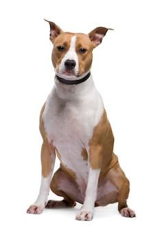 American staffordshire terrier z 18 miesiącami. portret psa na białym tle