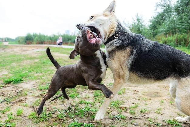 American staffordshire terrier z otwartą paszczą walczący z kundelkiem