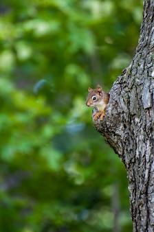 Amerykańska wiewiórka ruda wyglądająca z jego gniazda w starym pniu drzewa