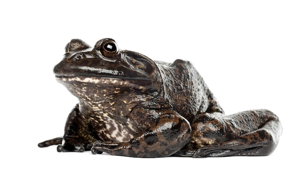 Amerykańska żaba rycząca lub żaba rycząca, rana catesbeiana, przeciwko białej przestrzeni