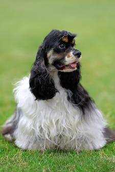 Amerykański cocker spaniel pies w zielonej trawie latem