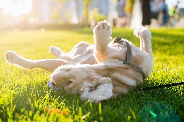 Amerykański cocker spaniel toczy się na zielonej trawie w parku miejskim. zachodzące słońce w tle. szczęśliwy pies leży na grzbiecie.