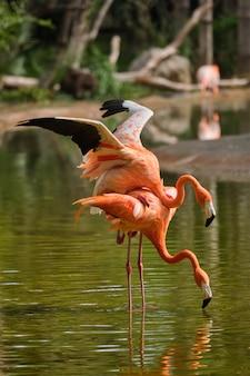 Amerykański flaming phoenicopterus ruber ptak