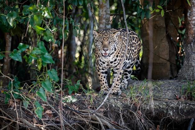 Amerykański jaguar w naturalnym środowisku południowoamerykańskiej dżungli