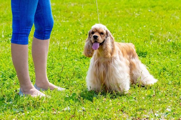Amerykański pies cocker spaniel obok swojej kochanki podczas spaceru po parku