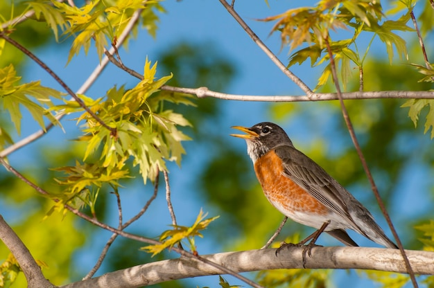 Amerykański rudzik śpiewający wiosną na gałęzi drzewa