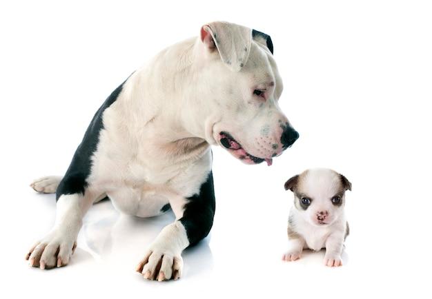 Amerykański staffordshire terrier i chihuahua