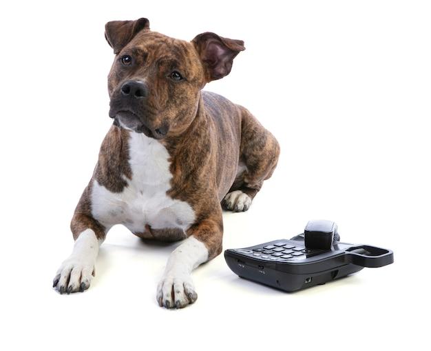 Amerykański staffordshire terrier