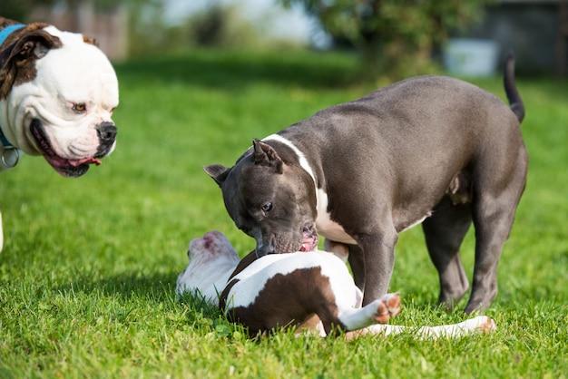 Amerykańskie szczenięta bully i pies rasy american staffordshire terrier