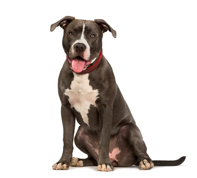 Amerykańskiego pit bull terrier psa obsiadanie przeciw białemu tłu