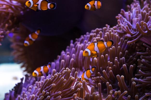 Amfiprion i morski anemon