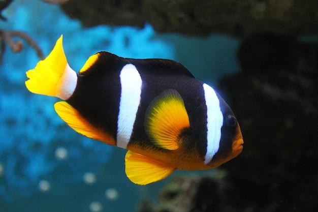 Amphiprion czarna ryba z białymi paskami i pomarańczowymi płetwami