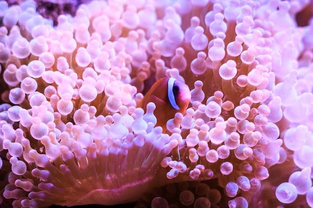 Amphiprion (zachodni clownfish)