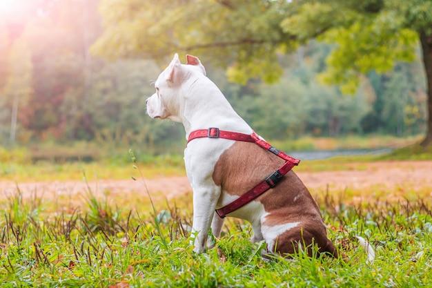 Amstaff pies na spacerze w parku. duży pies. jasny pies jasny kolor. zwierzęta domowe