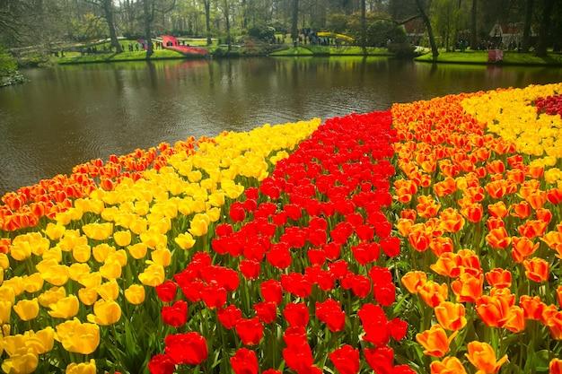 Amsterdam, holandia-20 kwietnia 2017: tulipany kwiat farmy keukenhof. sezon wiosenny w amsterdamie w holandii.