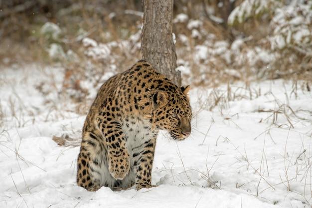 Amur leopard unosi łapę ze śniegu
