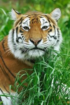 Amur tigers na geasie w letni dzień
