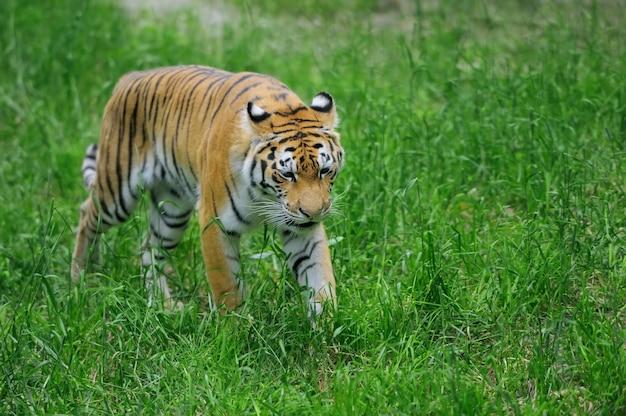Amur tigers na zielonej trawie w letni dzień