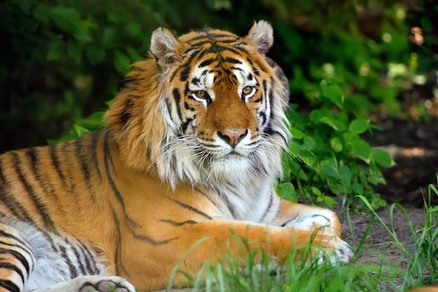 Amurskie tygrysy na geassie w letni dzień