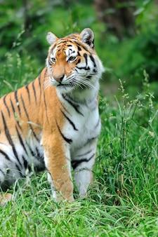Amurskie tygrysy na zielonej trawie w letni dzień