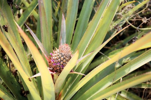 Ananas młodych w gospodarstwie.