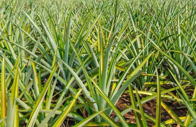 Ananasy w ananasowym polu w pobliżu zbiorów.