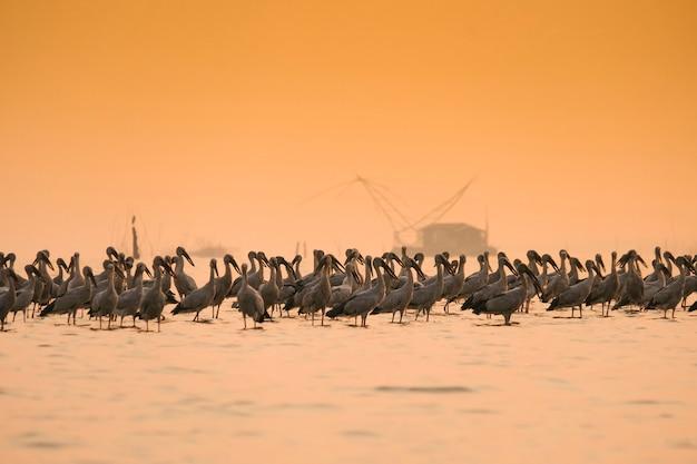 Anastomus oscitans duży ptak brodzący w rodzinie bocianów - azjatyckie bocianowate w jeziorze