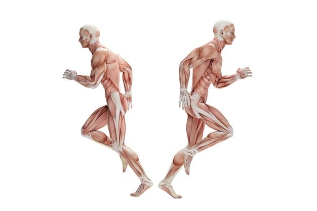Anatomia biegacza. ilustracja 3d. odosobniony. zawiera ścieżkę przycinającą