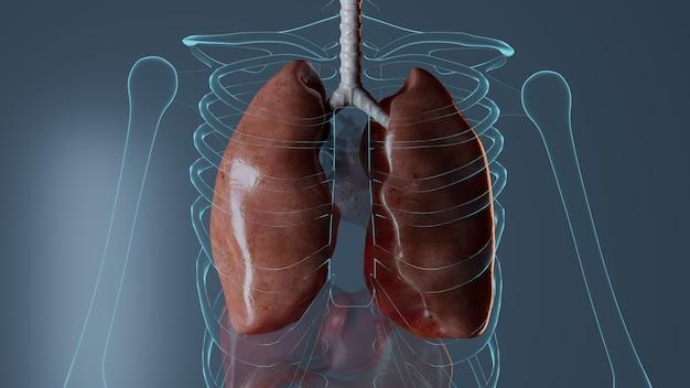 Anatomia narządów wewnętrznych na niebieskiej ścianie