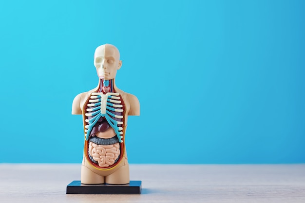 Anatomiczny model ludzkiego ciała z narządami wewnętrznymi na niebieskim tle. manekin anatomiczny ciała